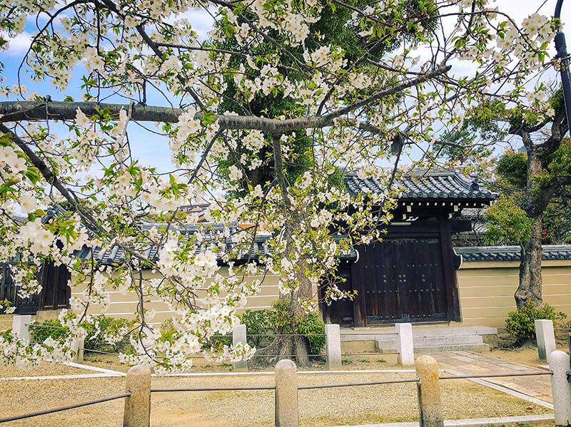 四天王寺のヤマザクラ