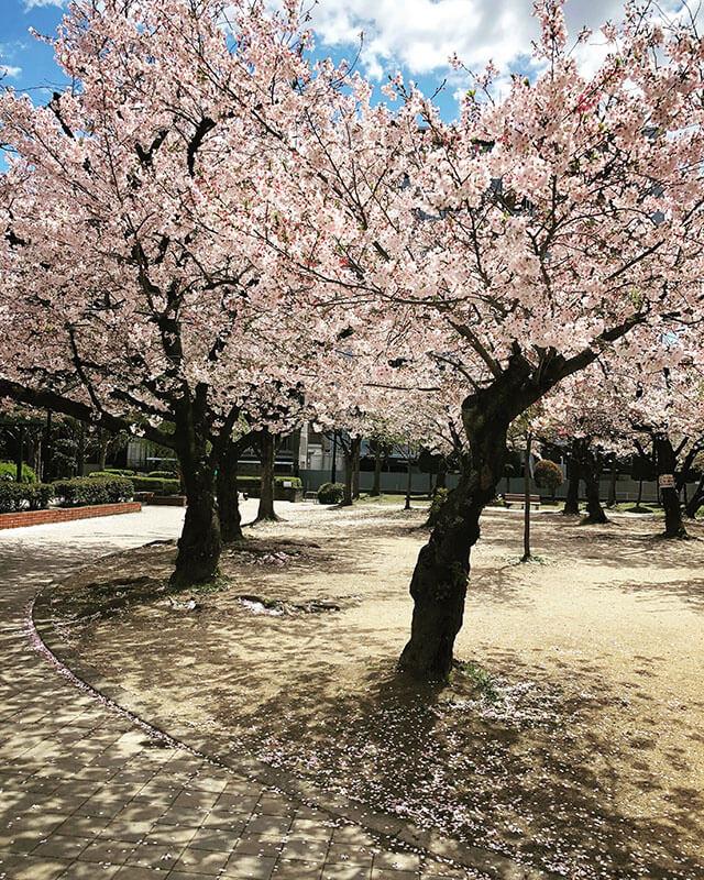 八尾市桜ヶ丘公園の桜の様子