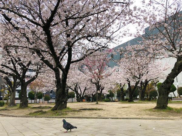 桜ヶ丘公園の桜の様子