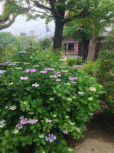 四天王寺の境内で咲いているアジサイ